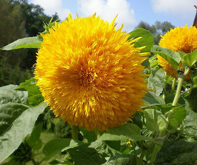 YELLOW SUNGOLD GIANT - SUNFLOWER - Helianthus annuus - 25 seeds of this year