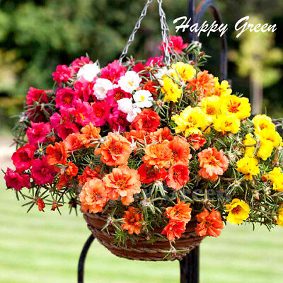 Moss Rose DOUBLE MIX - 3600 seeds - Portulaca Grandiflora - Annual Flower