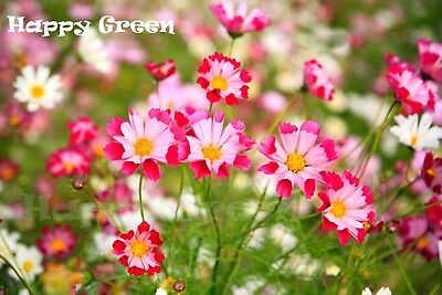 FLOWER - COSMOS - Sea Shells Mix - 400 seeds - Cosmos Bipinnatus