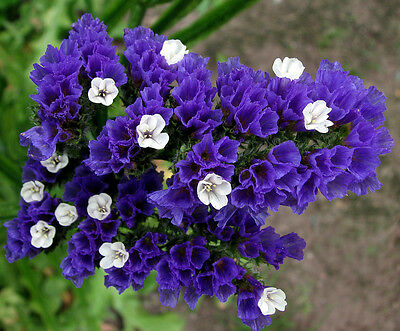 STATICE BLUE - dry flower - 100 seeds - SEA LAVENDER - Limonium sinuatum