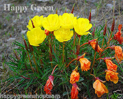 DWARF EVENING PRIMROSE YELLOW - 50 seeds - Rockery - Oenothera missouriensis