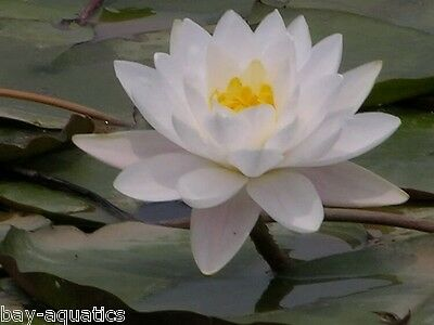 Genuine Nymphaea Colossea Extra Large UK HARDY White blushed Pink Water Lily