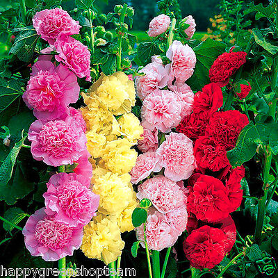 HOLLYHOCK - 50 seeds - CHATERS DOUBLE TRIUMPH MIX - Althaea rosea Flower