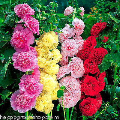 HOLLYHOCK - 80 seeds - CHATERS DOUBLE TRIUMPH MIX - Althaea rosea Flower