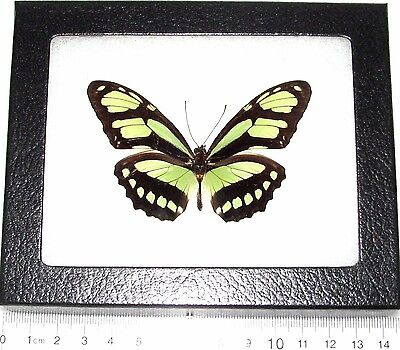 Real Framed Butterfly Lime Green Philaethria Dido Recto Peru