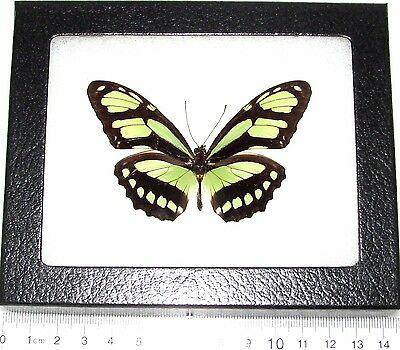 Real Peruvian Lime Green Dido Recto Metallic Butterfly Framed