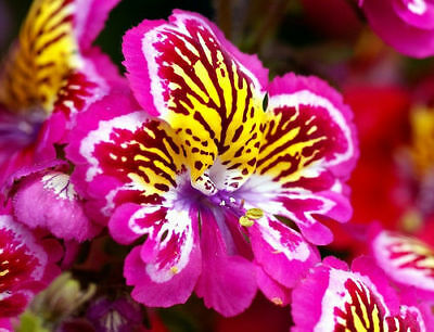 ANGEL WINGS MIX - 1600 SEEDS - Schizanthus wisetonensis - ANNUAL FLOWER