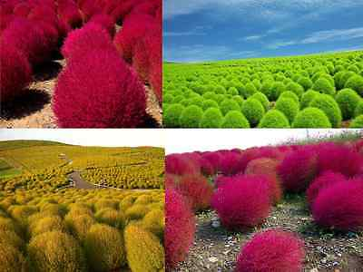 GRASS BURNING BUSH - 1400 seeds - Kochia Scoparia var. trichophylla - shrub