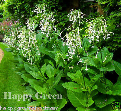 WOODLAND TOBACCO - 10 000 SEEDS - Nicotiana Sylvestris - ANNUAL FLOWER