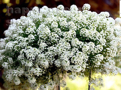 SWEET ALYSSUM WHITE - SNOWCLOTH - 2000 SEEDS - HONEY FRAGRANT Lobularia maritima