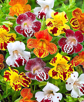 Tiger Monkey Flower MIX - 3200 SEEDS - Mimulus tigrinus grandiflorus