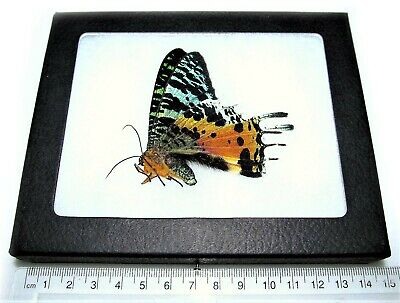 Real Madagascar Sunset Moth Chrysiridia Rhipheus Framed Butterfly Insect