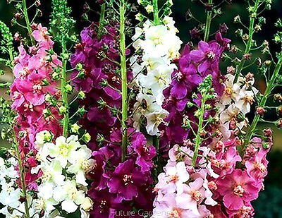 TEMPTRESS FLOWER MIX - Mullein - 3000 seeds - Verbascum phoeniceum - Flower