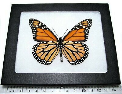Real Orange Black Monarch Danaus Plexippus Verso Framed Butterfly Insect