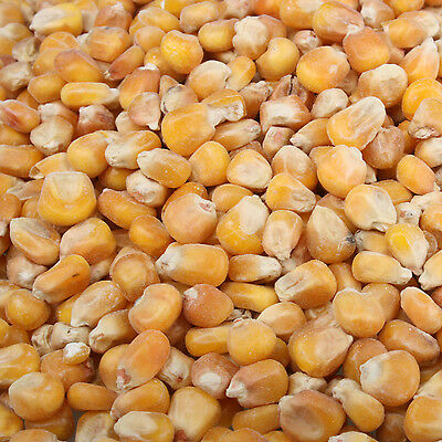CORN maize for fishing bait FREE UK DELIVERY
