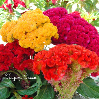 COCKSCOMB MIX - 400 SEEDS - Celosia argentea cristata - ANNUAL FLOWER