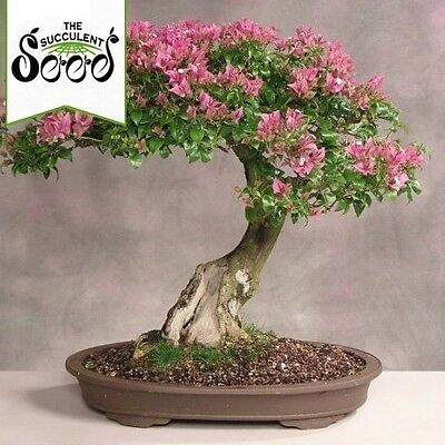 Crepe Myrtle - Lagerstroemia indica (100 Bonsai Seeds)
