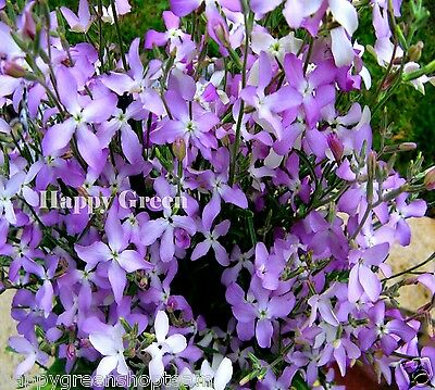 NIGHT SCENTED STOCKS - 160 000 SEEDS - 105 GRAM - Matthiola bicornis - FLOWER
