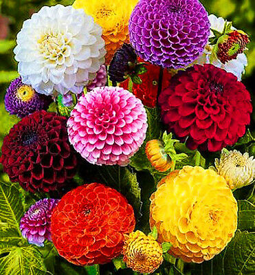 DAHLIA POMPONE DOUBLE -  150 SEEDS - MIX -  Dahlia pinnata variabilis