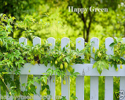 JAPANESE HOP - 18 SEEDS - Humulus scandens japonicus - Fast growing climber