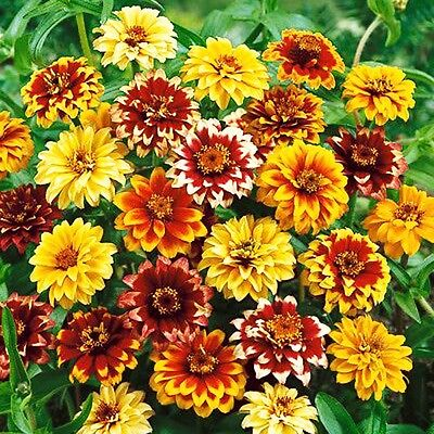 AZTEC MEXICAN ZINNIA - Zinnia Haageana - 500 SEEDS - IDEAL FOR CUT FLOWER