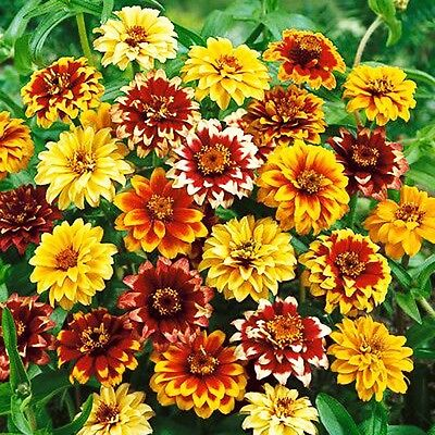 OLD MEXICO ZINNIA - Zinnia Haageana - 700 SEEDS - Double Bicoloured Flower
