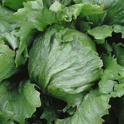 Iceburg Lettuce Seeds * Ice-Green Leaves * Compact Heads  * 200 Count Pkt.