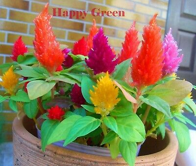 DWARF PLUMED COCKSCOMB MIX - 200 SEEDS - Celosia plumosa nana - FLOWER