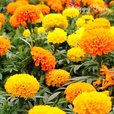 AFRICAN MARIGOLD - CRACKERJACK MIX - 1800 seeds - Tagetes erecta - ANNUAL FLOWER