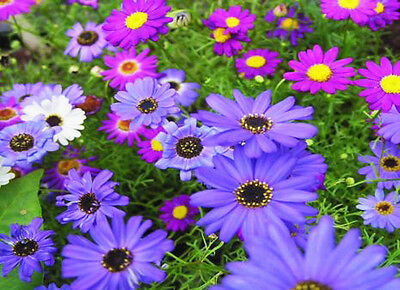 SWAN RIVER DAISY MIX - 2000 SEEDS - Brachyscome iberidifolia - ANNUAL BEDDING