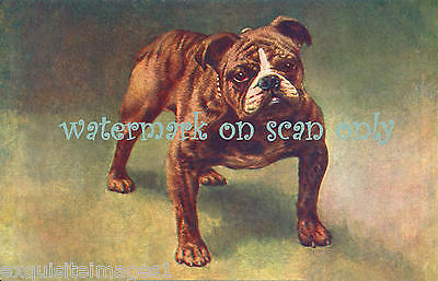 1906 Massive Brown & White English Bulldog ~ NEW Large Note Cards