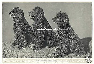 3 FAMOUS CHAMPION IRISH WATER SPANIEL Dogs 1934 Vintage Art Print Photo