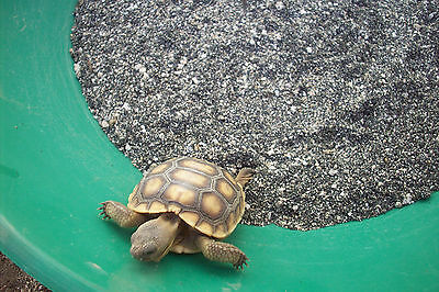 10 OUNCES California Desert Tortoise GOLD Paydirt CONCENTRATES for Panning Bag#2