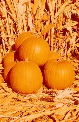 Spirit Hybrid Pumpkin Seeds * Compact Plant Uses Very Little Space *  7 Seeds *