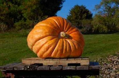 Dill's Atlantic Giant Pumpkin Seeds * 7 Seeds * World Record Holder * 1500 Pound