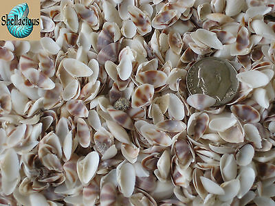"""1/3 Cup Of Tiny Brown & White Coquina Sea Shells- 3/8"""" & Under"""