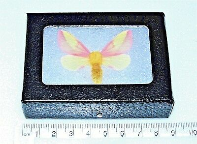 Real Framed Moth Pink Rosy Maple Dryocampa Rubicunda Usa