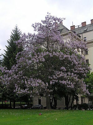 400 ROYAL PAULOWNIA EMPRESS TREE Tomentosa Flower Seeds  Seeds + Gift & Comb S/H