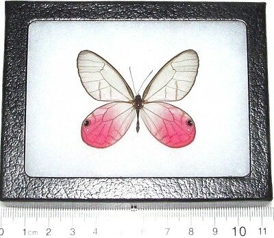 Real Framed Butterfly Cithaerias Merolina Pink Glass Clear Wing Peru
