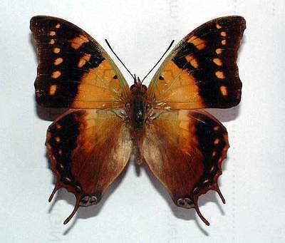 CHARAXES ANTAMBOULOU - unmounted butterfly