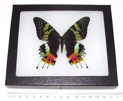 Real Madagascar Sunset Moth Chrysiridia Rhipheus Recto Framed Butterfly Insect