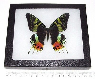 Real Madagascar Sunset Moth Urania Ripheus Recto Framed Butterfly Insect