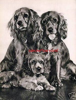 GOLDEN COCKER SPANIEL FAMILY -Adorable dogs PHOTOGRAPHED BY YLLA 1945