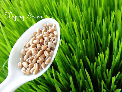 Sprouting seeds - WHEAT - Approx 1000 seeds 50g / 1.7oz - Sprouts seeds