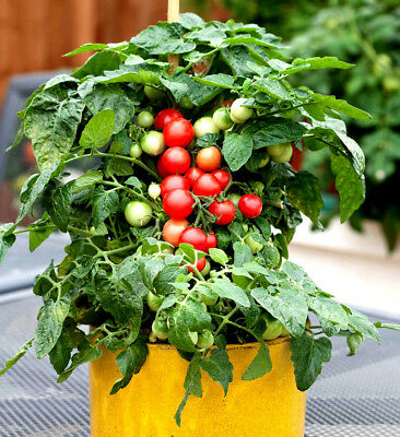 VEGETABLE - CHERRY TOMATO - GARTENPERLE - 150 seeds - Tomato seeds