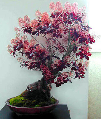 SMOKE TREE BUSH - Cotinus coggygria - 30 seeds BONSAI