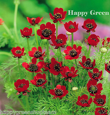 PHEASANTS EYE - Red flower - Adonis aestivalis - 110 SEEDS