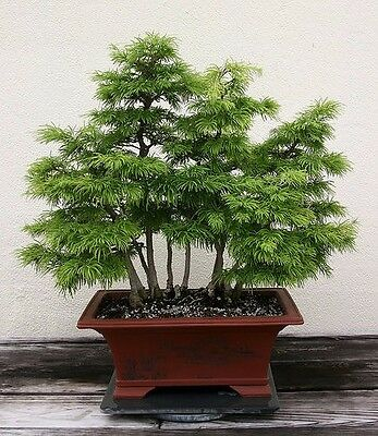 GOLDEN LARCH - Pseudolarix amabilis - 10 SEEDS - Great for Bonsai