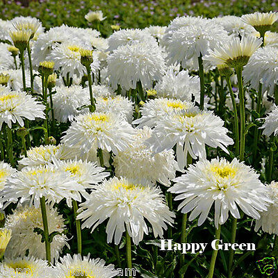 SHASTA DAISY DOUBLE - 200 SEEDS - Chrysanthemum leucanthemum - PERENNIAL Flower