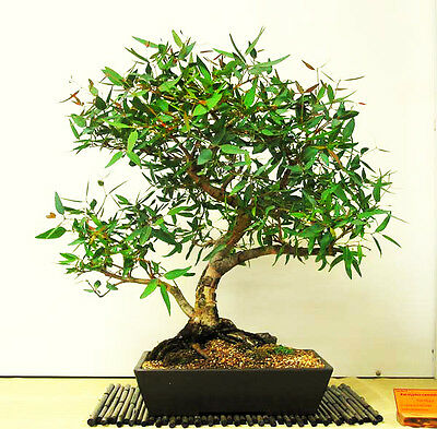LEMON-SCENTED GUM - CORYMBIA - Eucalyptus citriodora - 50 seeds BONSAI TREE